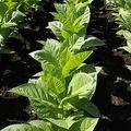 ストレス受けた植物「超音波の悲鳴」を上げている イスラエルの研究チーム