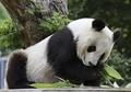 神戸のパンダ「タンタン」が心疾患で治療 中国への返還中止の可能性も