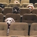 行儀よくミュージカル鑑賞する犬
