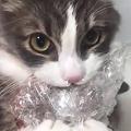黒毛和牛を強奪した猫が「逮捕」される 「両手でしっかり持つの可愛い」