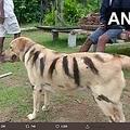 猿を追い払うため犬をトラに見せる(画像は『ANI 2019年12月2日付Twitter「Shivamogga: A farmer painted his dog to make it look like a tiger at Nallur village,Thirthahalli.」』のスクリーンショット)