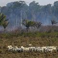 森林火災で焼けたブラジル北部パラ州のアマゾン熱帯雨林の前で草を食べるウシ(2019年8月25日撮影)。(c)Joao Laet / AFP
