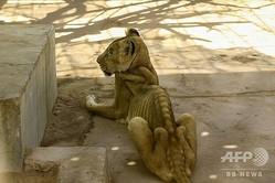 スーダン首都ハルツームのクレシ公園で飼育されている栄養失調のライオン(2020年1月19日撮影)。(c)ASHRAF SHAZLY / AFP