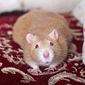 イエネズミという種名の生物がいるわけではない。イエネズミとは、ネズミの中で人の住処に暮らすものに便宜的に与えられたグループ名である。
