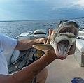 口が2つあるように見える魚(画像は『Knotty Boys Fishing 2019年8月19日付Facebook「Check this #lakechamplain creature out... 」』のスクリーンショット)