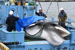 商業捕鯨の再開後、1頭目に捕獲されたミンククジラ=2019年7月1日、北海道釧路市=朝日新聞社