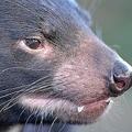 オーストラリアの絶滅危惧種に指定されているタスマニアデビル/Courtesy Dr. Eric J Woehler