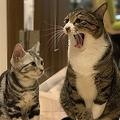 大きい猫と小さい猫があくびをうつしあう 仲良しぶりにほっこり