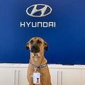 社員証をつけたヒュンダイ販売店のマスコット犬(画像は『Mirror 2020年8月10日付「Stray dog who keeps visiting car dealership is adopted by staff and given a job」(Image: tucson_prime/Instagram)』のスクリーンショット)