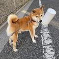 自慢げにでかいゴミをくわえてドヤる犬くん(提供:森田トコリさん)