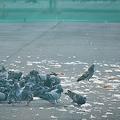 JR我孫子町駅前の空き地にまかれた食パンを食べるハト。午前6時になると一斉にパンに群がった
