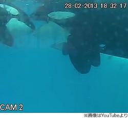 シャチのケンカ、3分以内に仲直り