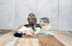 禁断の友情 猫に毛づくろいされるフクロウ