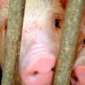 意外と知らない知識「豚の体脂肪率は低い」