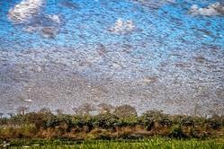世界で農作物を食い荒らしているバッタ(写真/GettyImages)