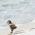 絶滅危惧種のヒナ鳥、嘘のニュースで救出成功 捕食者を人工の匂いでだます