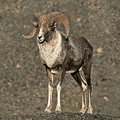 モンゴルのゴビ砂漠に生息する野生のヒツジ、アルガリ。BIOSPHOTO提供。(c)ERIC DRAGESCO / BIOSPHOTO