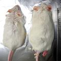 腸内細菌がいない母親から生まれたマウス(右)は肥満になりやすい=東京農工大・慶応大提供