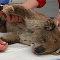 豪サウスオーストラリア州カンガルー島の仮設病院でやけどの治療を受けるコアラ(2020年1月14日撮影)。(c)PETER PARKS / AFP