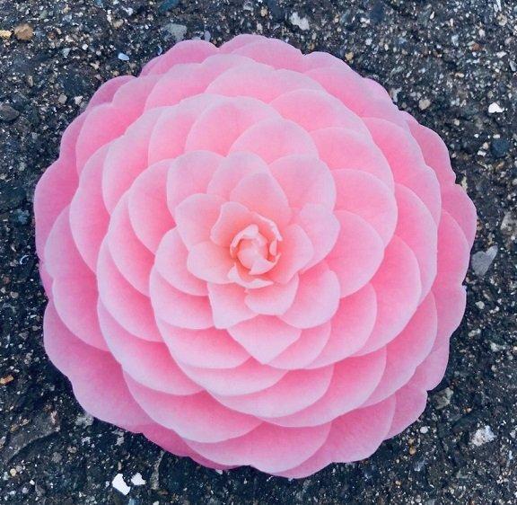 まるで芸術作品? 道端に落ちていた花が「あまりにも完璧すぎる造形美」だった