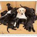 13匹のブラックの子犬を産んだ母犬(画像は『Tyla 2020年8月11日付「Yellow Labrador Gives Birth To 13 Black-Coated Puppies」(Credit: Solo Syndication)』のスクリーンショット)