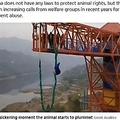 バンジージャンプに使われた豚(画像は『The Sun 2020年1月20日付「UTTER CRUELTY Outrage as Chinese theme park forces a terrified live PIG to do a bungee jump to mark the Year of the Rat」(Credit: AsiaWire)』のスクリーンショット)