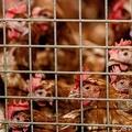 オランダ・バルフェネルトで、鳥インフルエンザ対策のため屋内に隔離された鶏(2020年10月23日撮影、資料写真)。(c)Sander Koning / ANP / AFP