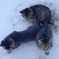 子猫3匹の尻尾が地面の雪に凍りついて動けず コーヒーをかけて救出