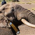 ゾウのビッグティム。動物保護団体「ワイルドライフ・ダイレクト」提供(2016年9月10日撮影)。(c)AFP PHOTO / WILDLIFEDIRECT/ PAUL OBUNA