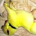 「緑色」の子犬が生まれ話題 米