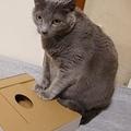 穴のあいた箱に入りたい猫 一体化を求めた結果謎のポーズに