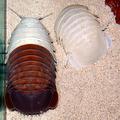脱皮したダイオウグソクムシ(左)と脱皮後の殻(鳥羽水族館提供)