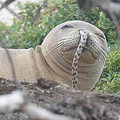 画像は「Hawaiian Monk Seal Research Program」Facebookスクリーンショット