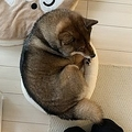 柴犬の花さん(写真はあず花コミカルコンビ@kuroshibaazukiさんのツイートより)