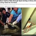 捕獲されたヘビと壊れた天井(画像は『News18.com 2019年11月18日付「Giant Python Falls Through Spa's Ceiling in China after Secretly Living There for 10 Years」(Image credit: Twitter/@showbusinexx)』のスクリーンショット)