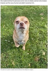 お手上げ状態のわがままを発揮するチワワ(画像は『7NEWS.com.au 2021年4月12日付「Brutally honest adoption ad for 'demonic Chihuahua' goes viral」(Credit: Second Chance Pet Adoption League)』のスクリーンショット)
