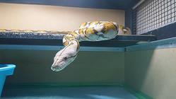 茨城県に移され、ケージの中で過ごすアミメニシキヘビ=6月上旬、管理者提供