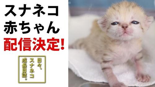 [画像] 砂漠の天使「スナネコ」の赤ちゃんの動画が一挙公開 初回は6月4日21時から、展示までの成長を随時配信
