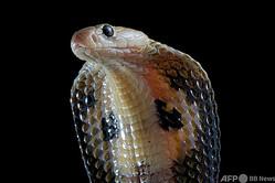 インドコブラ。Biosphoto 提供(2017年10月3日撮影、資料写真)。(c)Biosphoto / Clement Carbillet
