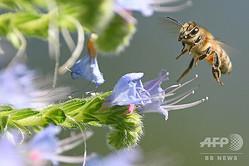 ミツバチ(2020年5月21日撮影、資料写真)。(c)DANIEL LEAL-OLIVAS / AFP