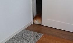 食パンが一斤落ちている? なぜかドアの隙間で眠る、コーギーのコーちゃん(画像提供:舞さん)