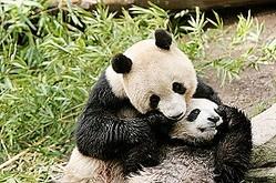 中国は「パンダ外交」を各国と展開してきたが、パンダは日中友好の架け橋としても利用されていて、現在10頭のパンダが日本に貸し出されている。(イメージ写真提供:123RF)