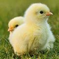 卵から生まれる前にヒヨコのオスメスを識別する機械が誕生 フランス
