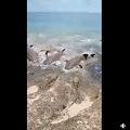 口の中に魚が飛び込んでくる状態に興奮気味のサメ(画像は『Philomena Nona 2021年3月26日付Facebook「Murray Island, Torres Strait」』のスクリーンショット)