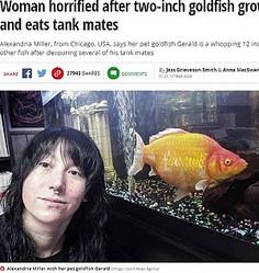 5センチだった金魚が2年弱で6倍の大きさに(画像は『Mirror 2020年3月17日付「Woman horrified after two-inch goldfish grows into 'monster' and eats tank mates」(Image: Caters News Agency)』のスクリーンショット)