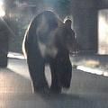 札幌市の住宅街に現れたクマ=2019年8月12日午後8時29分、札幌市南区の藤野地区、白井伸洋撮影=朝日新聞