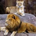 スペイン・バルセロナの動物園でライオン4頭が新型コロナ陽性
