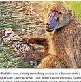 ヒョウの赤ちゃんに優しい一面を見せるヒヒ(画像は『LatestSightings.com 2020年12月1日「Baboons Steal & Groom 2 Leopard Cubs」』のスクリーンショット)