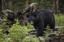 「クマが一緒にいた」森で迷子になった3歳、2日後無事に生還
