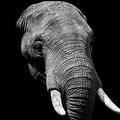 がんに強い耐性を持つゾウ 多数の「LIF遺伝子のコピー」が存在